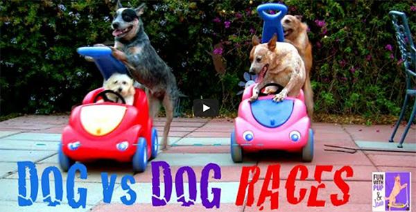 Vídeo engraçado - Corrida de cachorros